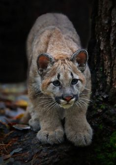 A Young Mountain Lion.