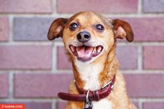Daily Dog: Deuce the Chihuahua Mix | Nuena Photography by Kira Stackhouse #dailydog #chihuahua #mix #dog #petphotography #petphotographer
