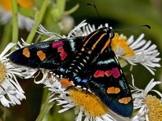 https://flic.kr/p/rhdxSZ | Mimoniades versicolor versicolor BR Bocaina BBt 29JAN15 1150m Dg