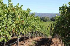 Our Cabernet Sauvignon Vineyards in Napa