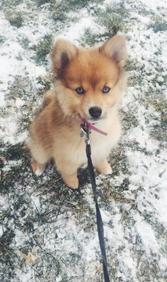 The traits I adore about the Pomeranian Find Out More On Pomeranian Dogs Really Cute Puppies, Super Cute Puppies, Cute Little Puppies, Cute Dogs And Puppies, Cute Little Animals, Cute Funny Animals, Baby Dogs, Doggies, Baby Animals Pictures