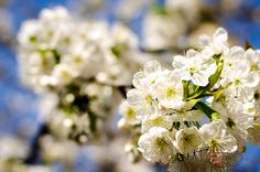 Blossom by Pricope Marian on 500px
