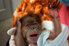 A healthy baby orangutan was delivered by C-section at the Como Zoo on January 7.  Read more at ZooBorns.com and at http://www.zooborns.com/zooborns/2015/01/baby-orangutan-delivered-by-c-section-at-como-zoo.html