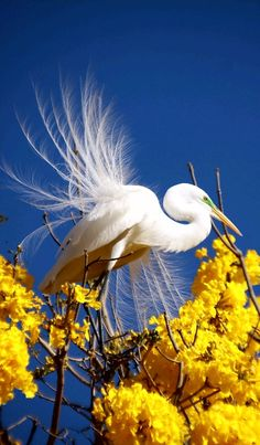 Waterfowl - Spectacular shot of the Great White Egret. - photo by Flavio Cruvinel Brandao