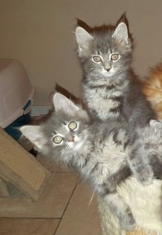 Blue silver tabby white Maine Coon kittens