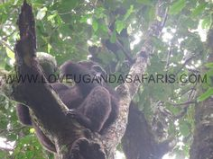 chimpanzees in uganda http://www.ugandahikingsafaris.com/73-2/