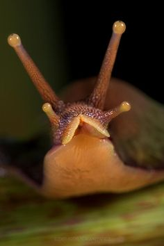 A giant African snail: Photo by Photographer Igor Siwanowicz - photo.net