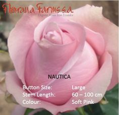 Nautica´s delicate and soft pink look will complement your special big day. Visit: www. Organic Roses, Delicate, Big, Flowers, Color, Florals, Colour, Flower, Colors