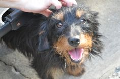 Dachshund Terrier Mix - this post gives great reasons to adopt a dog!