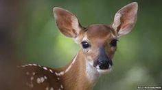 White Tailed FAWN - Norton Safe Search