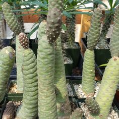 This plant comes in a 3 1/4 inch pot You will receive a very similar plant to the one on the picture. this plant is shipped in its pot to prevent any damage on the roots Also known as Pine Cone Cactus