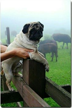 """""""I can't believe I have to work tomorrow."""" www.jointhepugs.com #PugPower #PugLife #PugsofInstagram"""