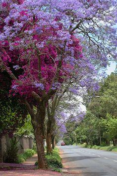 Jacaranda tree enfolded by bougainvillea - how beautiful is that? Beautiful World, Beautiful Gardens, Beautiful Flowers, Beautiful Places, Beautiful Pictures, Beautiful Gorgeous, Simply Beautiful, Plantation, Flowering Trees