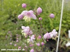 Thalictrum delavayi - Violfrøstjerne