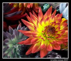 Dahlia flowers for bouquets