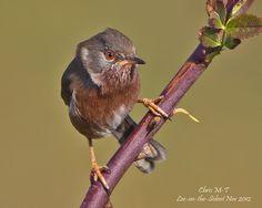 Dartford Warbler (Sylvia undata) - Chris | by Chris(C) & Sue (S) M-T