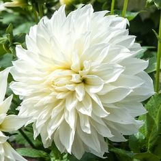 Dinnerplate Dahlia - FleurelHuge dinnerplate bloom of the Fleurel Dahlia is an elegant white, with a pale yellow center, making it an excellent companion planting to other, more vividly colored varieties. But rest assured, Dahlia Fleurel is beautiful enough to stand alone as well!