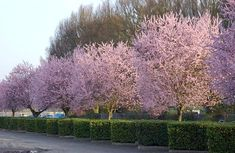 Purple Cherry - Prunus pissardii, PRUNUS cerasifera 'atropurpurea'