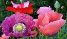 ...........random colored poppies, non-conformists, you!