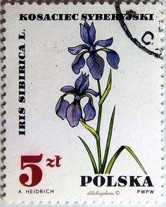 Poland.  FLOWERS IN NATURAL COLORS. IRIS SIBIRICA. Scott 1515 A477, Issued 1967 June 14, Perf. 11 1/2 x 11, 5. /ldb.