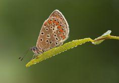 Blatt Bläuling Falter Makro morgen Schmetterling tau tropfen