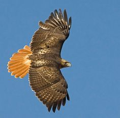 I want this tattooed! Gorgeous red tail hawk!!