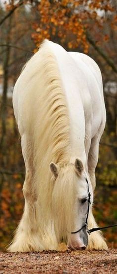 Beautiful white horse with gorgeous long mane and autumn leaves in background. Picture perfect horse!