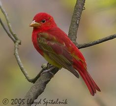 Summer Tanager - a young male stopped by during dinner in July 2015.  Unfortunately I did not have my camera handy, but this pic is close.