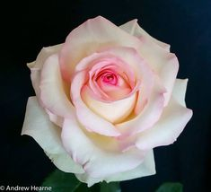 Magnificence ~ Hybrid Tea