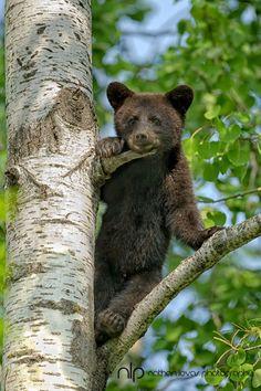 Cute Black Bear cub - reminds me of Hope. :(