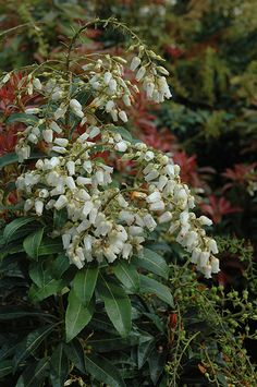 Mountain Fire Japanese Pieris at GSCO