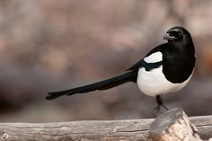 The Obnoxious Magpie...afraid of nothing