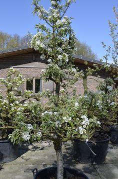 Laagstam fruitboom