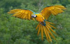 Arara ( Macaw )