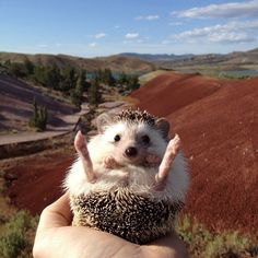 Pin for Later: Biddy the Hedgehog Has Traveled More Places Than You Kicking Up His Feet and Relaxing