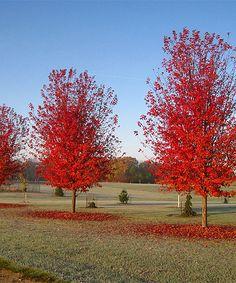 Look at this #zulilyfind! Live Autumn Blaze Maple Tree by Perfect Plants #zulilyfinds