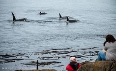 What a sight! 40+ orcas went by Lime Kiln Lighthouse on San Juan Island today. Photo by Chris Teren