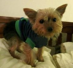 Janis Joplin is an adoptable Yorkshire Terrier Yorkie Dog in Sinking Spring, PA. Please contact LeeAnn ( lbrizak@yahoo.com ), (856) 655-3160, (856) 655-3160 for more information about this pet. If you...