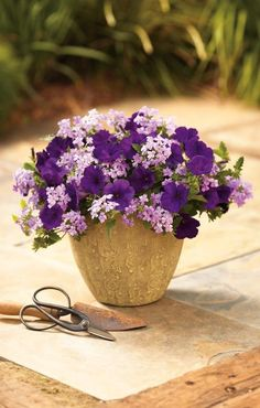 Two easy to grow varieties, gorgeous color that will delight all season long. We call this 'Simply Velvet'.