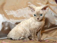 https://flic.kr/p/dqYsdW | Devon Rex | Lilac Smoke devon Rex Kitten. Six weeks…