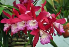 https://flic.kr/p/9amgVV   Blc. Booth Lee 'Venice'   Blc. Booth Lee is a combination of Bc. Maikai (B. nodosa x C. bowringiana) x Lc. Jalapa (C. guttata x L. milleri). So there are 4 species in the background. This orchid actually received an HCC/AOS in 2010 at the Venice Area Orchid Show. However, the owner of the orchid did not pay for the award so it is nullified.