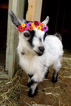 hippie goat!!!