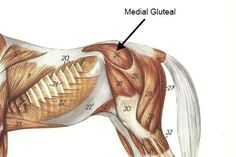 Medial Gluteal muscle on the horse