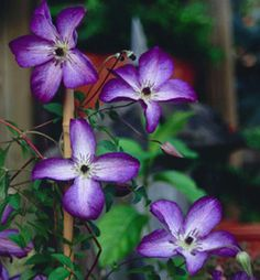 Clematis 'Venosa Violacea'  8-10'.  Prune back hard at the end of winter.