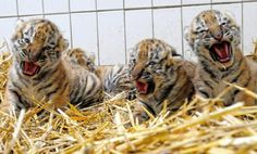 Baby tigers have complaints! Many, many complaints.