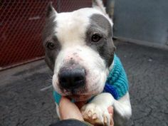 TO BE DESTROYED 4/11/14 Manhattan Center -P  My name is CRILEY. My Animal ID # is A0995445. I am a male white and gray pit bull. The shelter thinks I am about 3 YEARS old.  I came in the shelter as a STRAY on 04/01/2014 from NY 10467, owner surrender reason stated was STRAY. https://www.facebook.com/photo.php?fbid=782600421752839&set=a.611290788883804.1073741851.152876678058553&type=3&theater