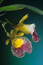 GALEANDRA greenwoodiana - Mexico