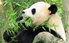 """Panda blood contains antibiotic compound  Researchers in China studying pandas have discovered a peptide with antibacterial properties in panda blood. The compound, cathelicidin-AM, destroys bacteria in an hour, compared with the more than six hours needed by other antibiotics. This isn't the first time antibacterial peptides have been identified in animals. """"More than 1,000 antimicrobial peptides have been found from animals, plants and microorganisms."""""""
