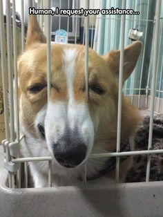 Poor Little Corgi