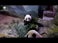 Adorable Bei Bei and Mama Mei back together. .
